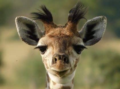 A giraffe looking at the camera