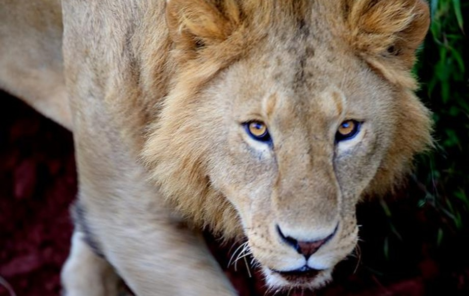 Lion captured at Local Maasai compound