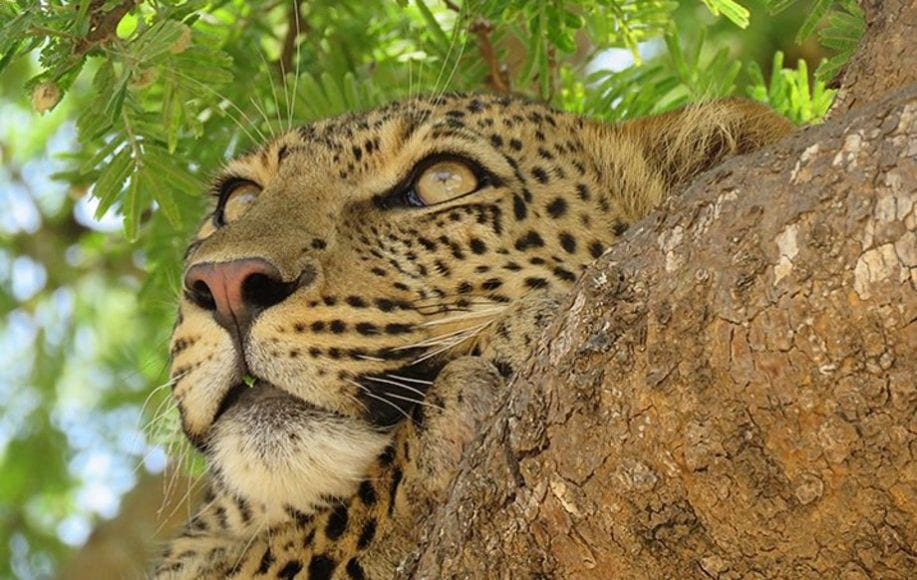 a leopard resting