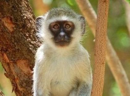 Patient vervet monkey