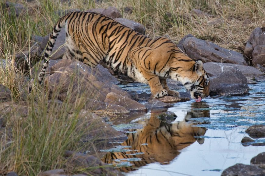 Toger drinking water at Ranthambore National Park