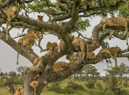 lions in a tree relaxing