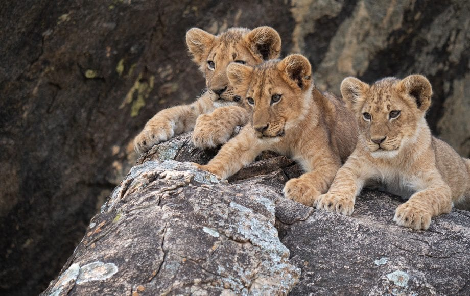 A group of cubs sitting on a rock.