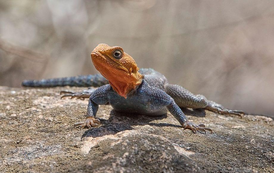 A Agama lizard sitting on a rock.