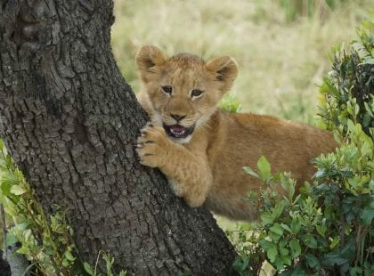 A lion sitting in a tree.
