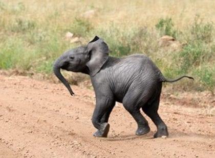 Baby elephant makes a break