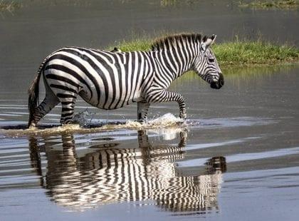 a zebra wading through water
