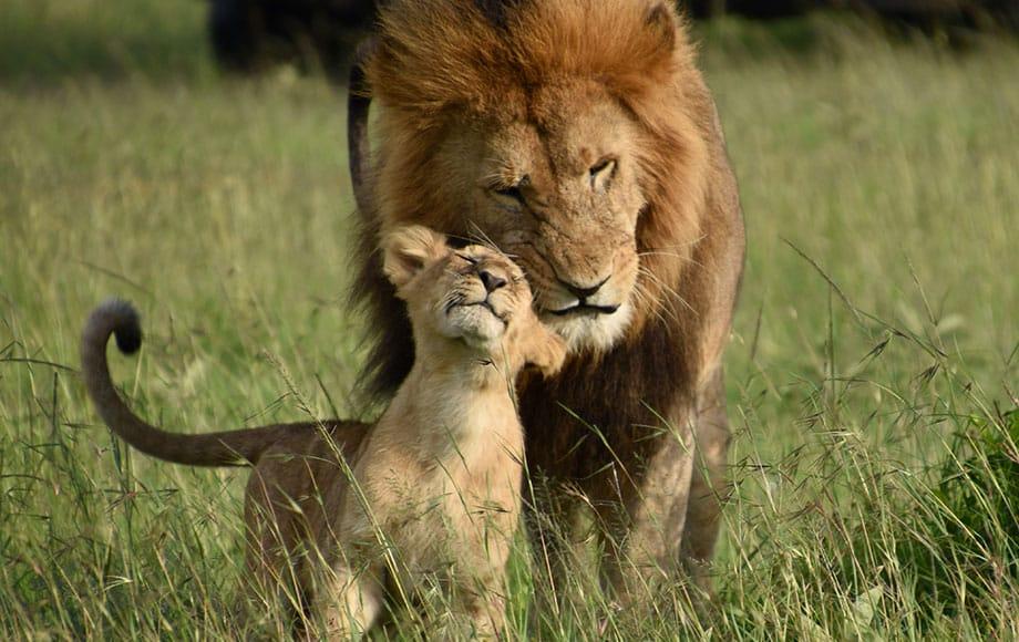 A lion cuddling his cub