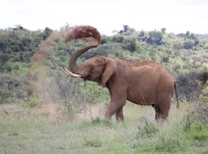 Elephants - Spraying herself with the dirt ise