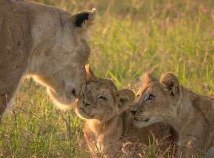 seven lion cubs in the Masai Mara