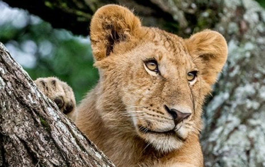 a lion watching something from a tree