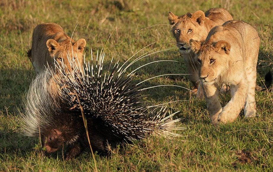 lion cubs surrounding a porcupine