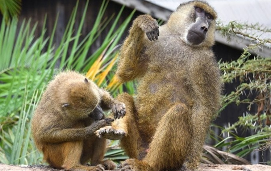 a baboon giving another baboon a pedicure