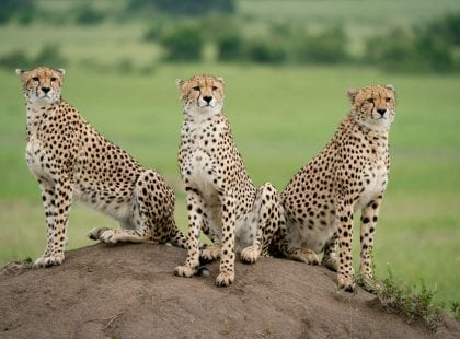 Masai Mara - mother cheetah with her two sons