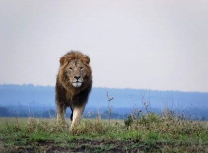 a lion staring