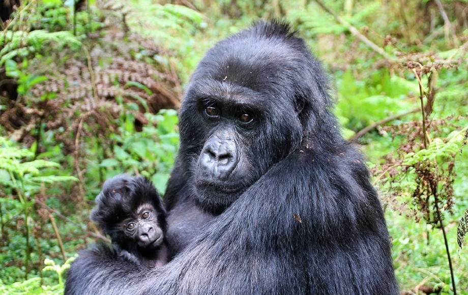 a mother gorilla and her baby