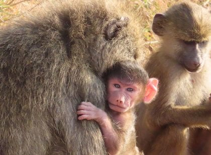 a baboon holding a baby