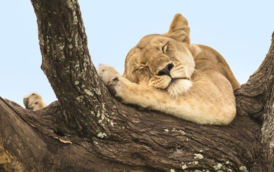 a lion cub sleeping