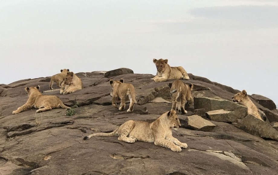 a group of lions on rocks