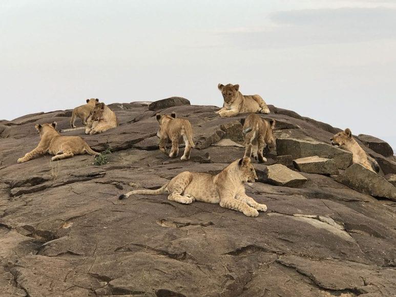Several lion cubs on rocks