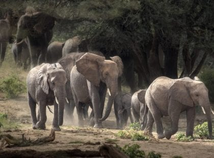 a group of elephants walking