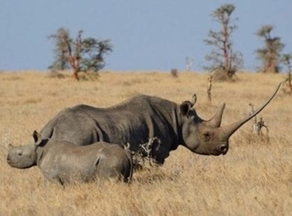 Mother and baby rhino in Lewa Wildlife Conservancy