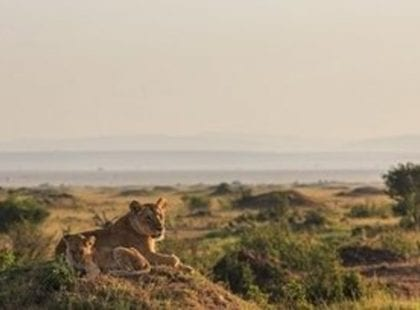 Lioness and cub resting on termite mound