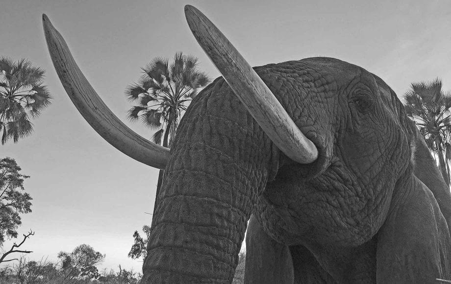 A gray scaled image of an elephant.