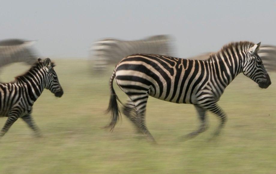 A group of zebras running through a field.