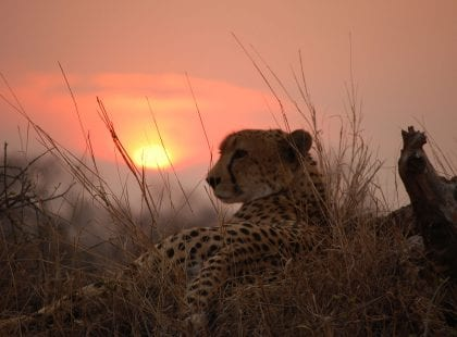 A cheetah in Sabi Sands with the sun setting in the background.