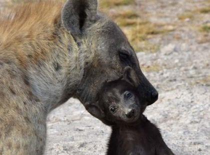 A hyena holding a cub