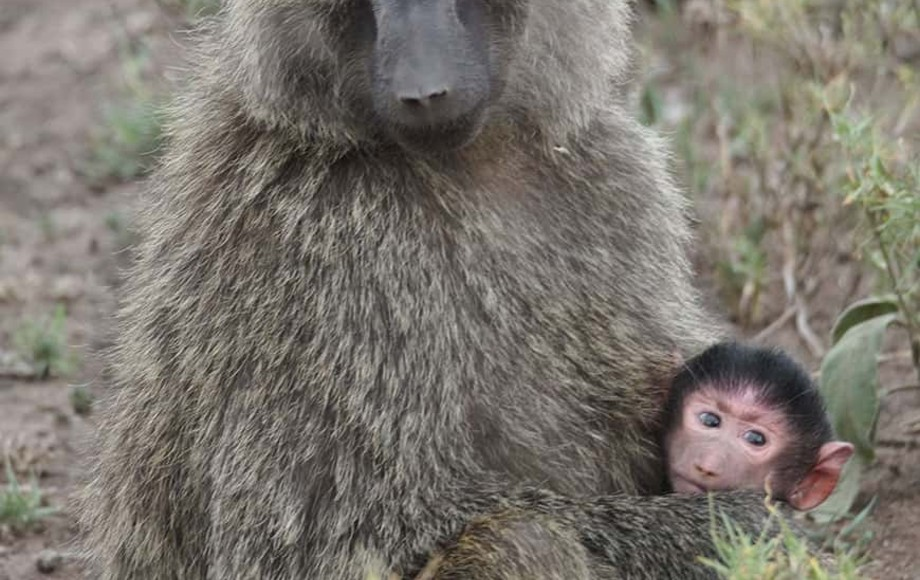 a baby baboon with his mother