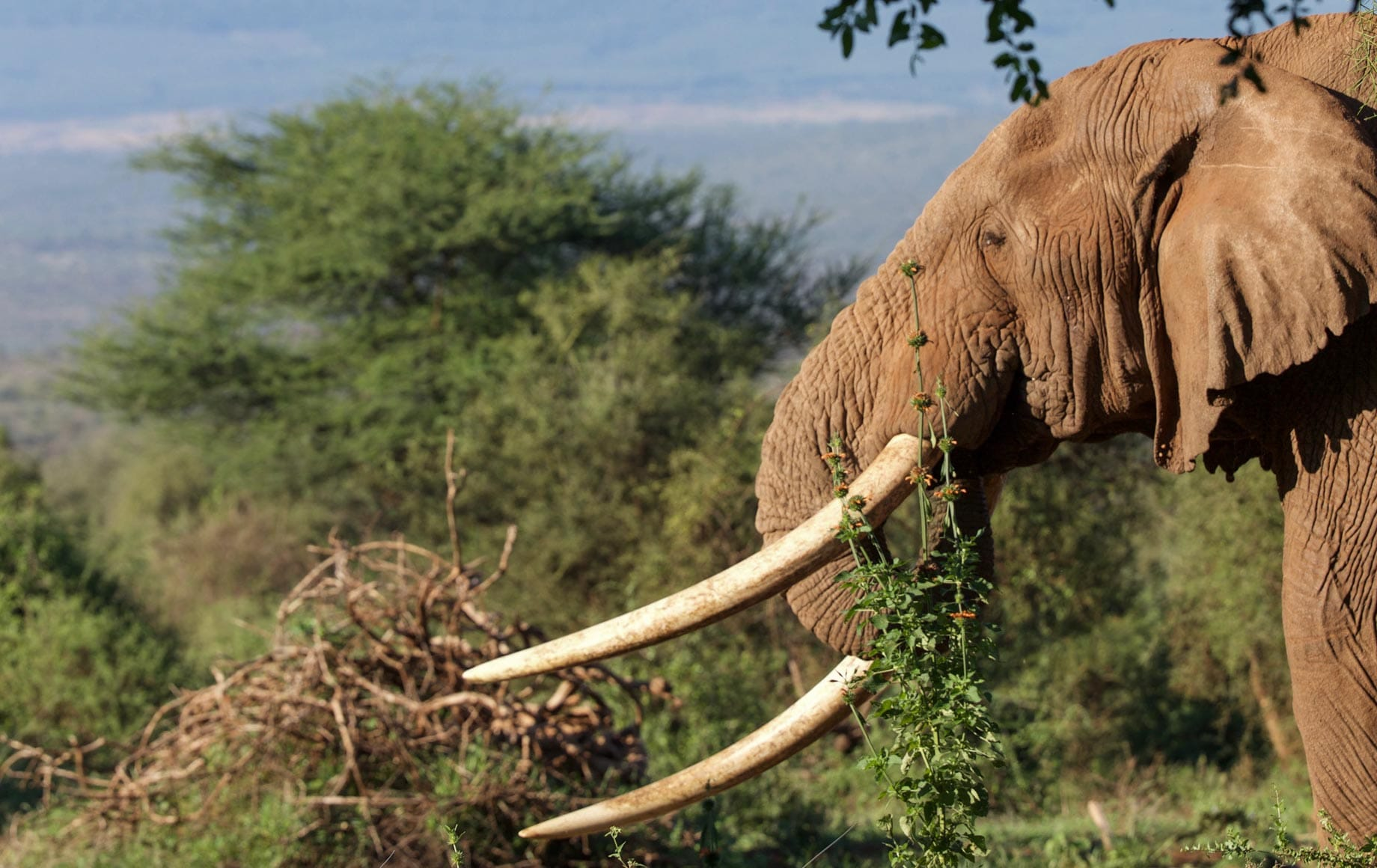 Arusha - Elephant eating grass