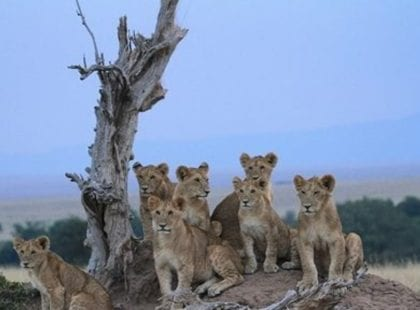 Young lion cubs on ant hill
