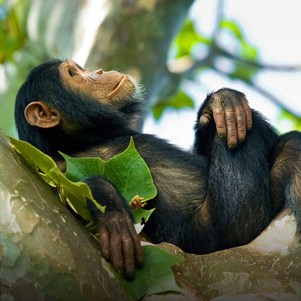 a relaxing Chimpanzee