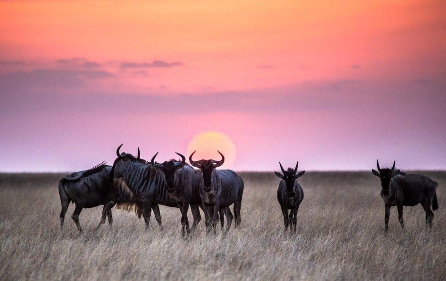 Wild family of Moose in the sunset at Chyulu Hills