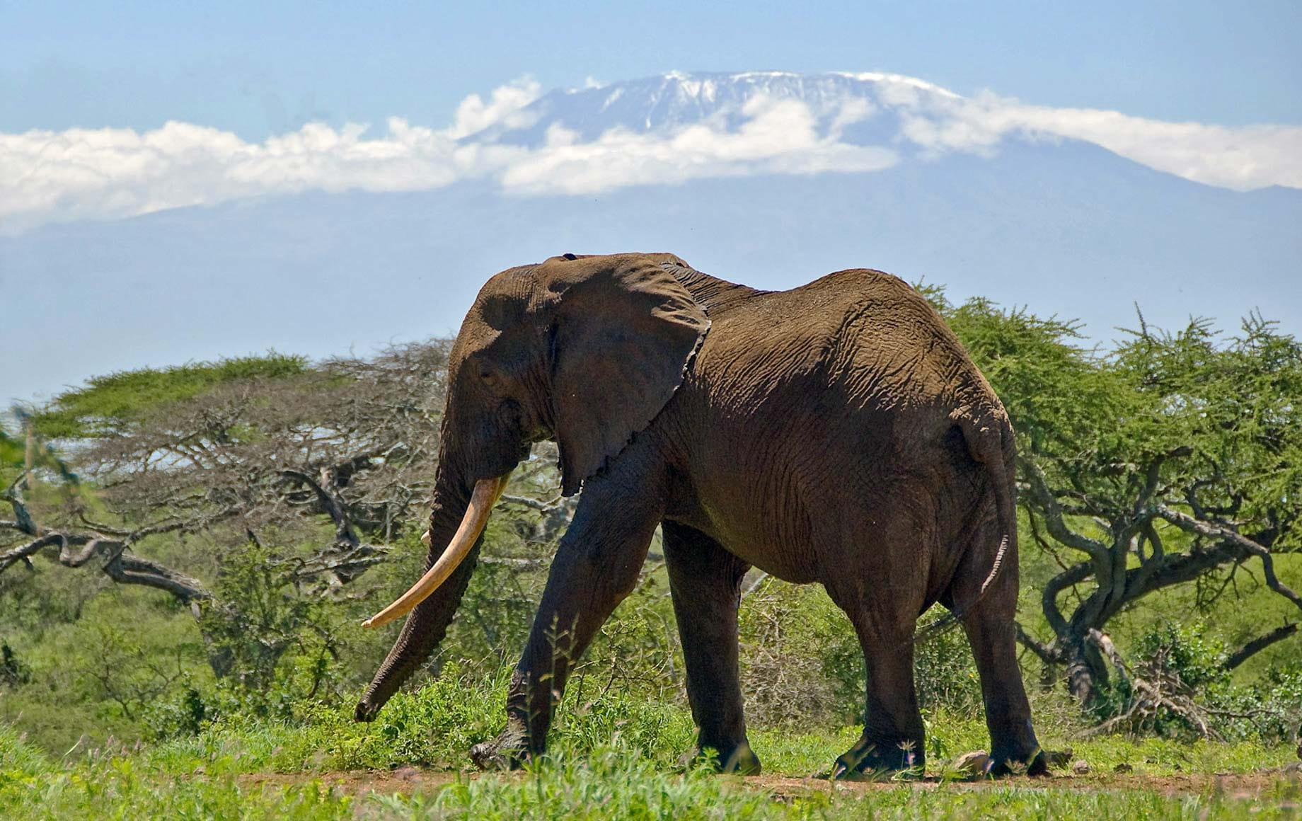 Wild elephant walking alone in peace at Chyulu Hills