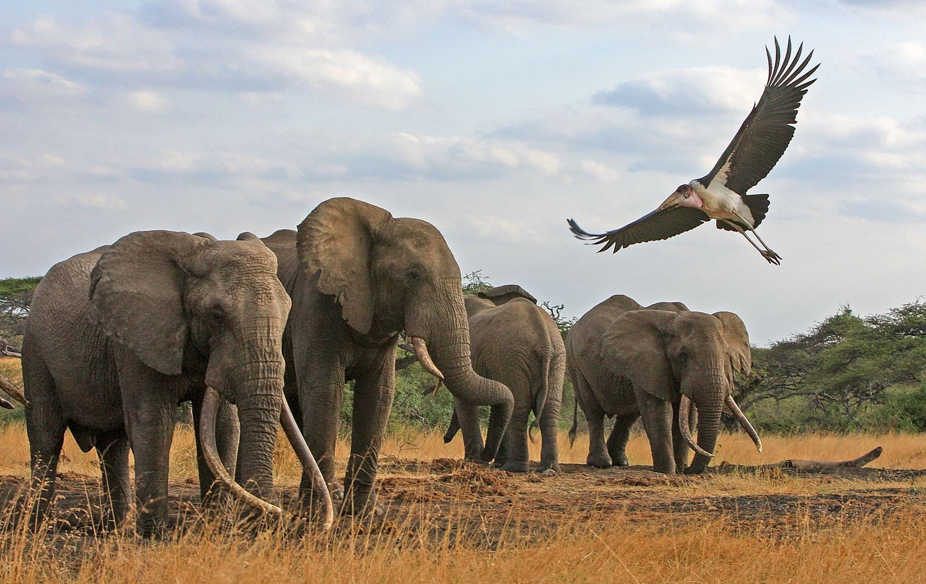 Family of elephants and bird flying with freedom at Chyulu Hills