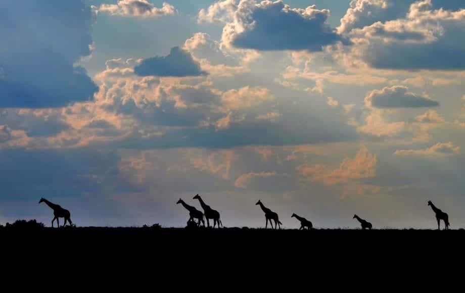 Groups of Giraffes