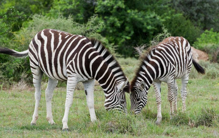 Zebras at The Eastern Cape