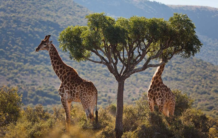 Giraffes at The Eastern Cape
