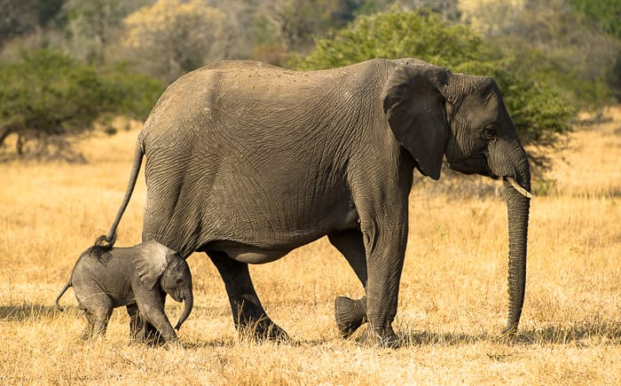 Elephant baby roaming around with Mother Elephant