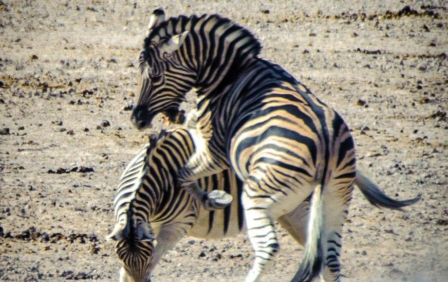 Hartmann's Mountain Zebra - Etosha National Park