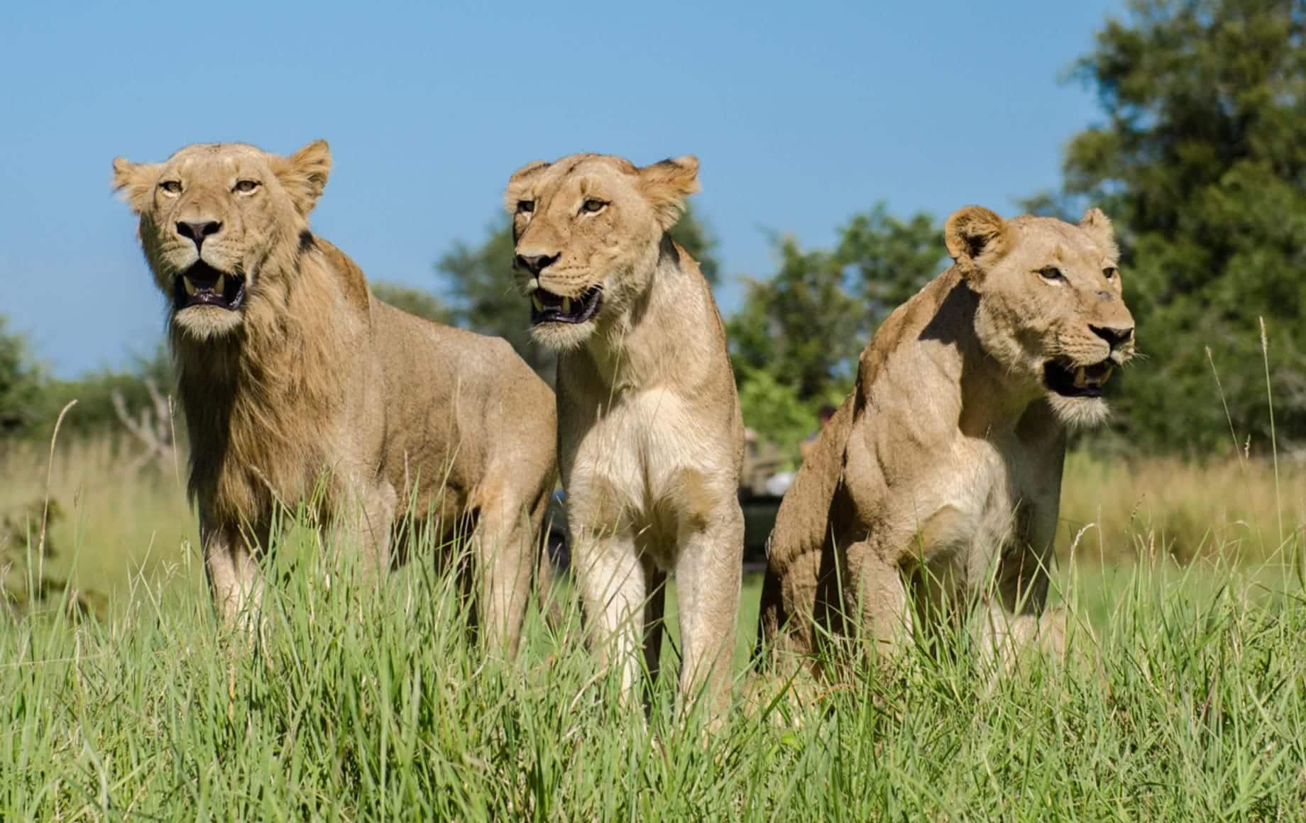 Glimpse of lion