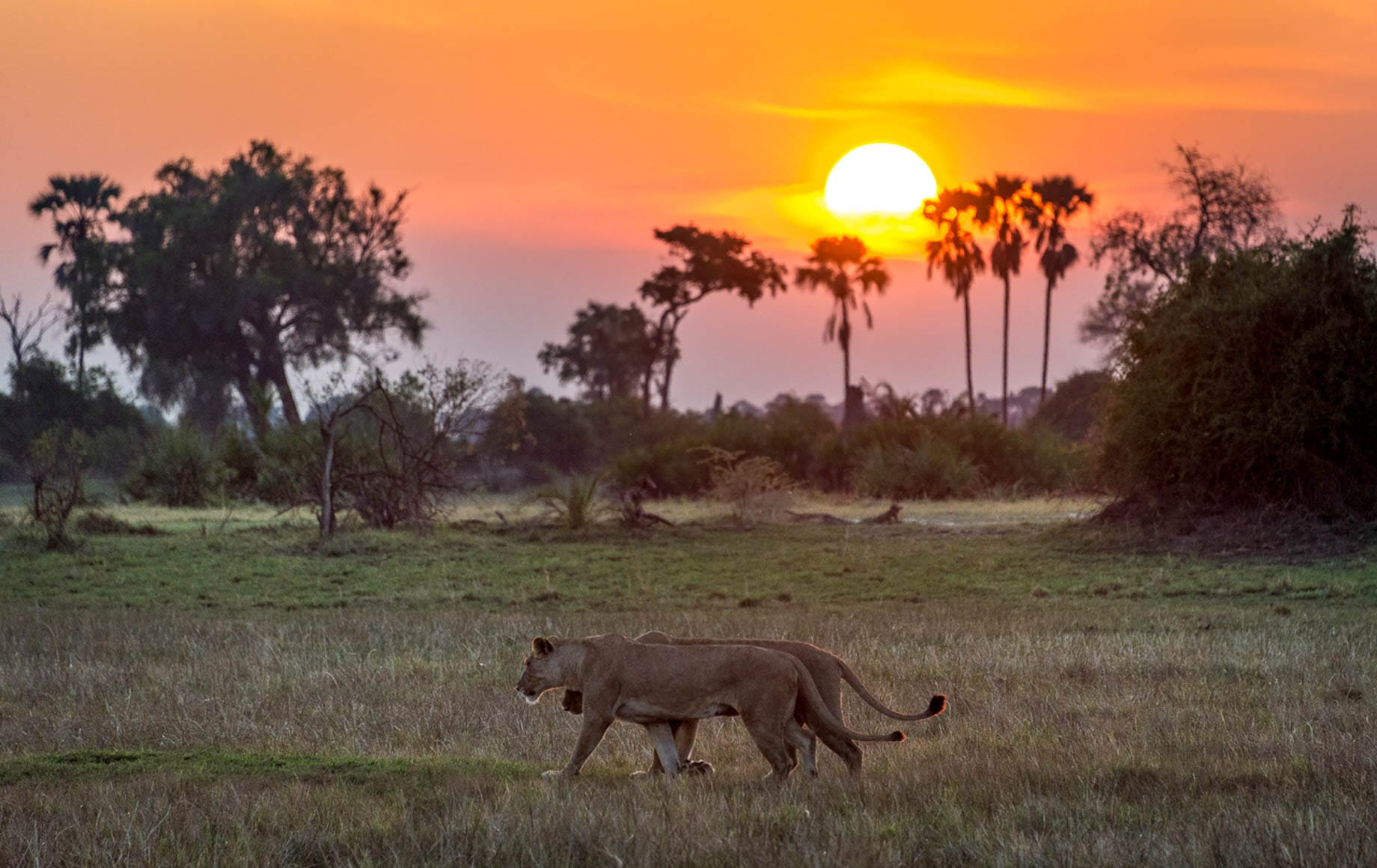 Lions roaming during sunset
