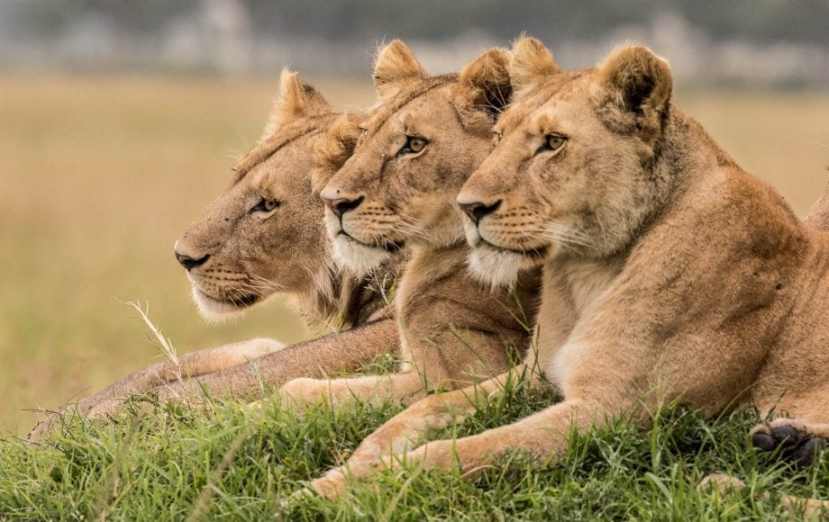 Three lions sitting on grass