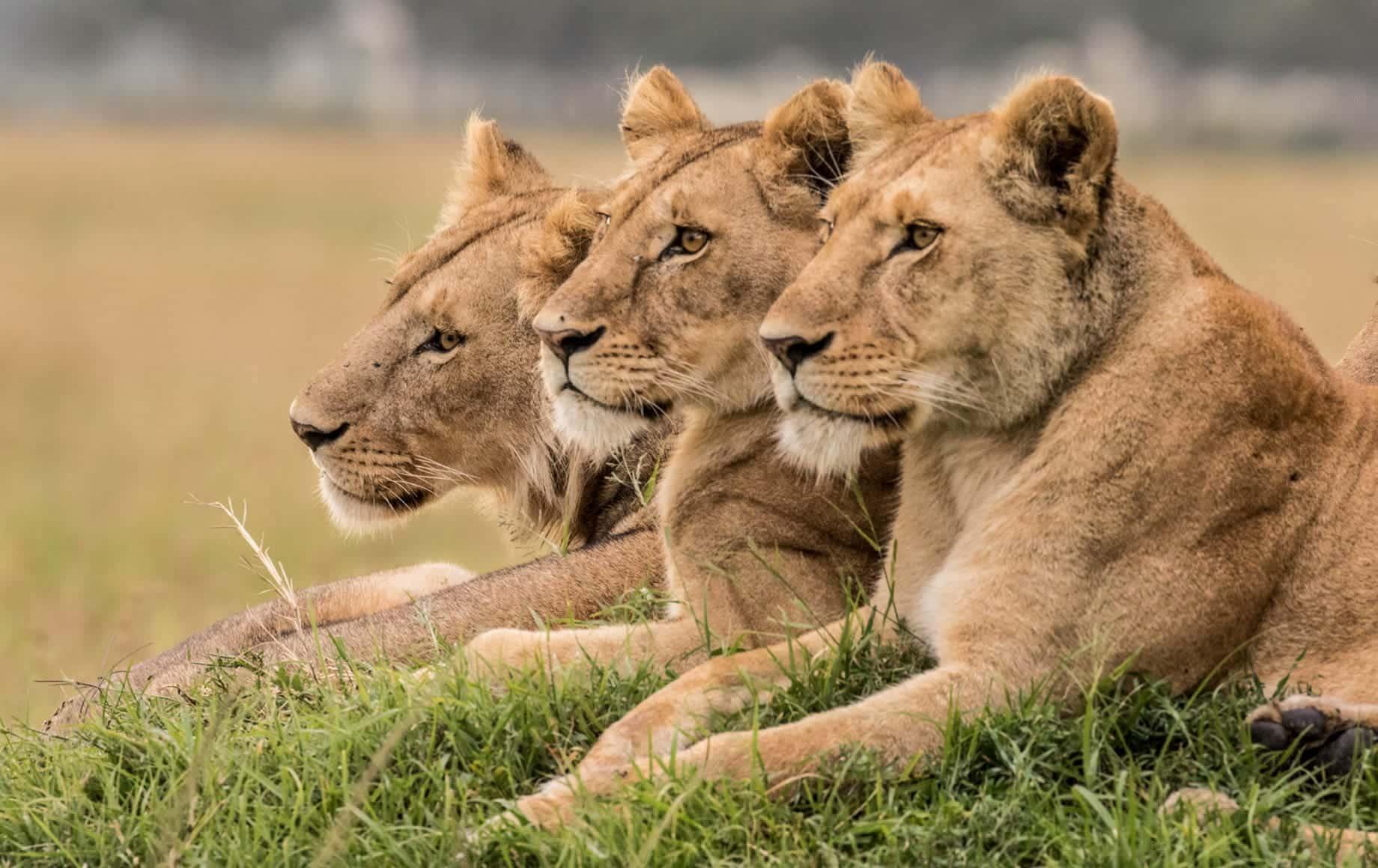 Three lions sitting on grass