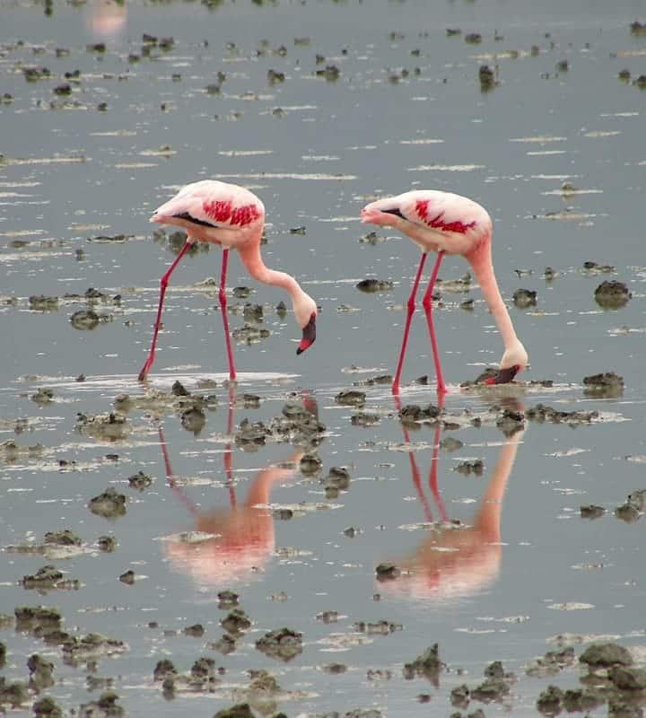 Flamingos durning Safari
