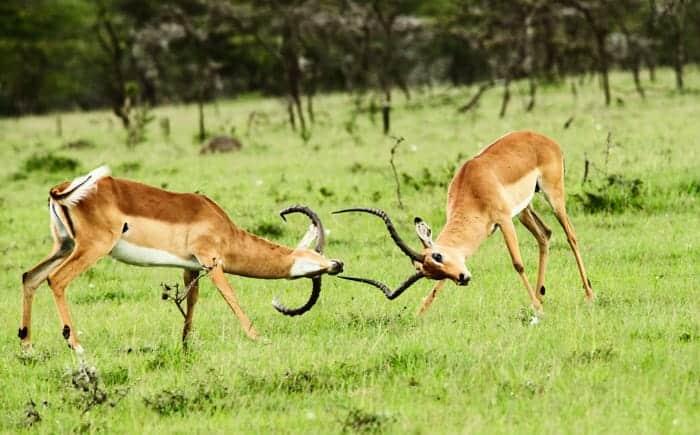 Quarreling gazelles