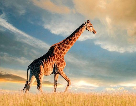 Giraffe Sunset